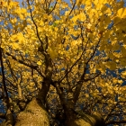 Autumn Leafs II